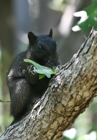 3. Black Squirrel