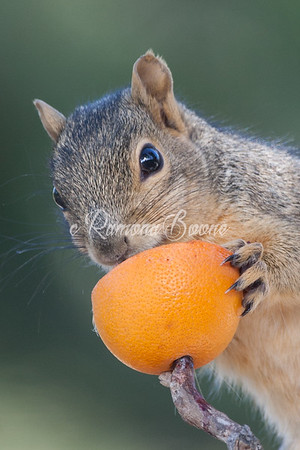 10. Squirrel and Orange