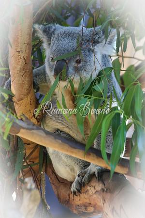 2. Koala