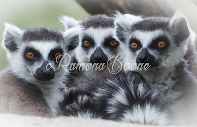 17.  Ring Tailed Lemurs