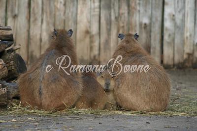 1. Capybara
