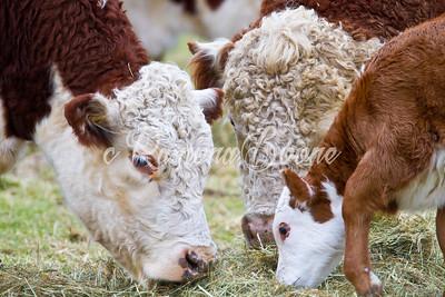 15. Cows