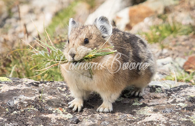 23. Pika and Grasses