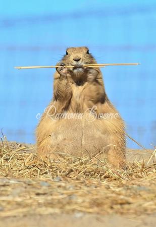 6. Prairie Dog