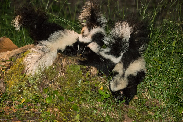Striped Skunk with young kits