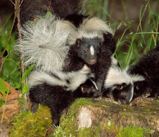 Striped Skunk with her family of young kits
