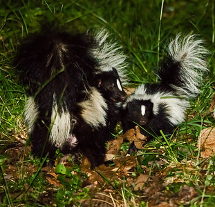Striped Skunk with young kit