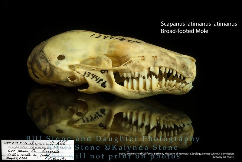 Scapanus latimanus latimanus - Broad-footed Mole
