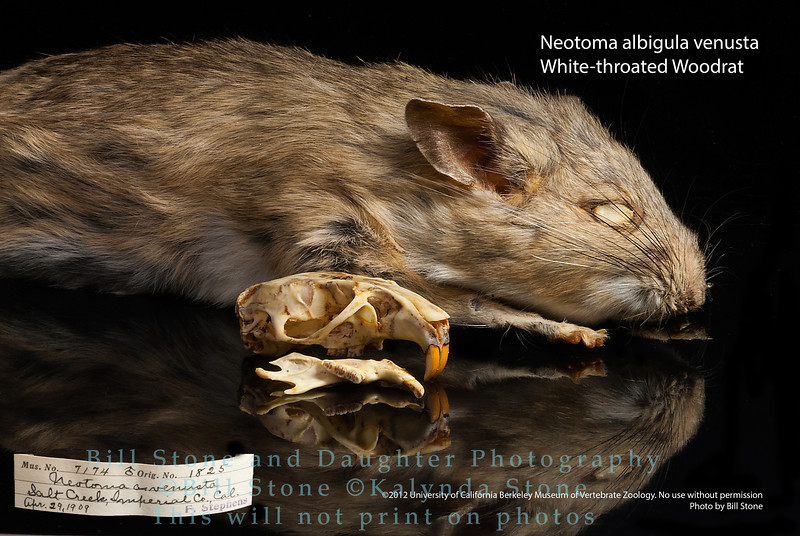 Neotoma albigula venusta - White-throated Woodrat