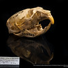 Lemmus nigripes - lemming