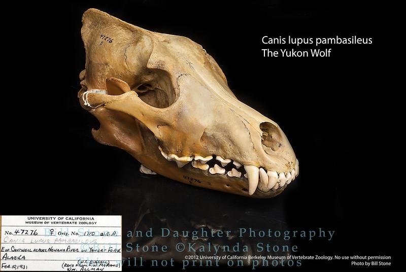 Canis lupus pambasileus - The Yukon Wolf