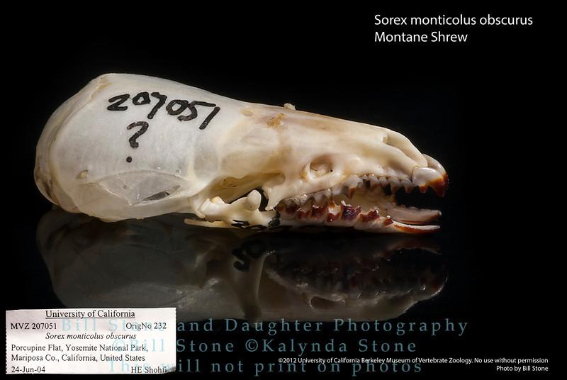 Sorex monticolus obscurus - Montane Shrew