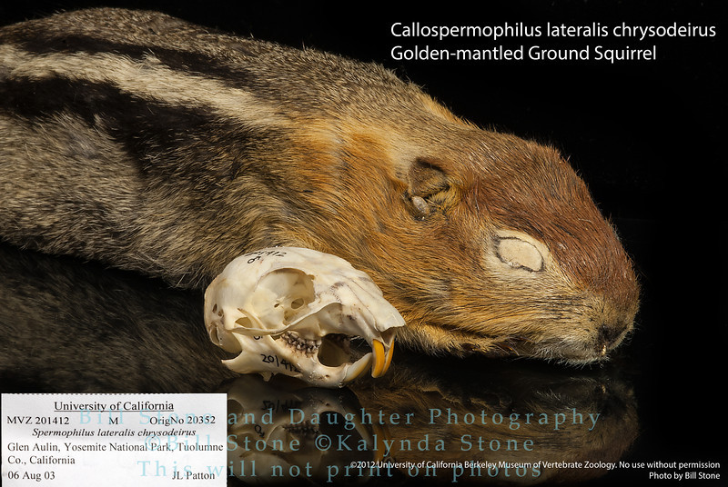 golden-mantled ground squirrel (Callospermophilus lateralis chrysodeirus)