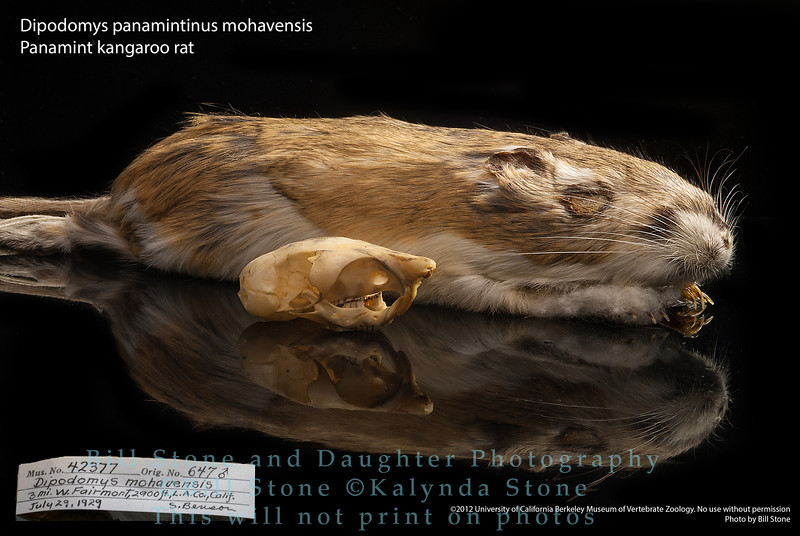 Dipodomys panamintinus mohavensis - Panamint kangaroo rat