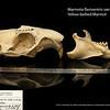 Marmota flaviventris sierrae - Yellow-bellied Marmot