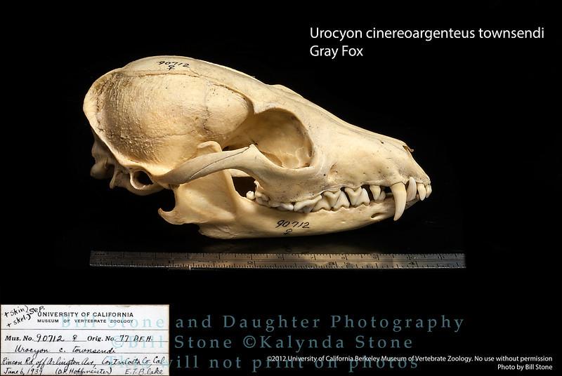Urocyon cinereoargenteus townsendi - Gray Fox