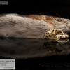 Dicrostonyx groenlandicus rubricatus - St. Lawrence Island collared lemming