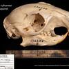 Sciurus niger rufiventer - Western fox squirrel