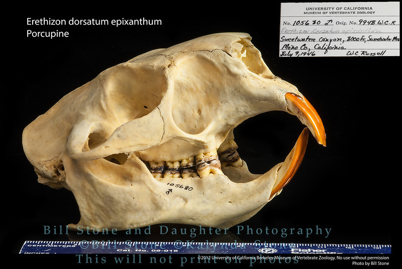 Erethizon dorsatum epixanthum - Porcupine