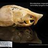 Microdipodops megacephalus californicus - Sierra Valley kangaroo mouse