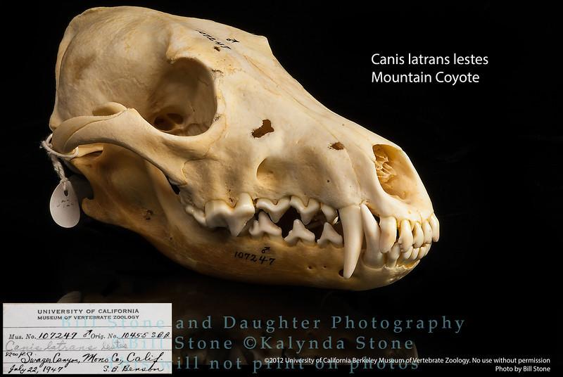 Canis latrans lestes - Mountain Coyote
