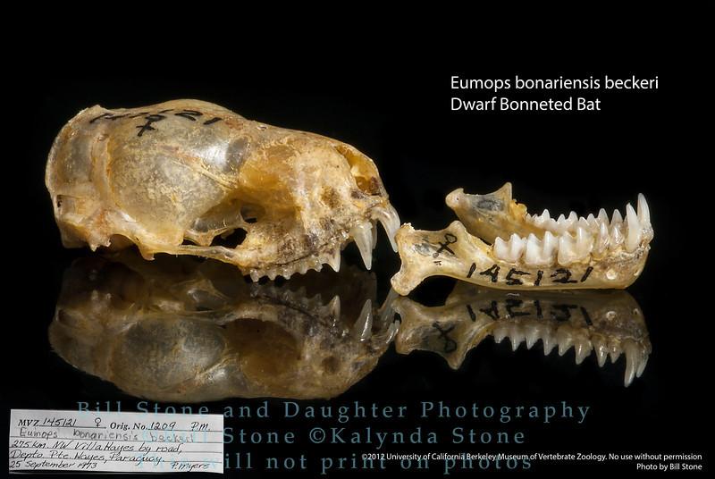Eumops bonariensis beckeri - Dwarf Bonneted Bat