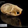 Peromyscus attwateri - Texas mouse
