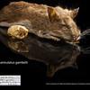 Peromyscus maniculatus gambelii - Deer Mouse