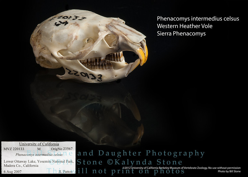 Phenacomys intermedius celsus - Heather Vole or Sierra Phenacomys