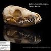 Vulpes macrotis arsipus - Desert Kit Fox