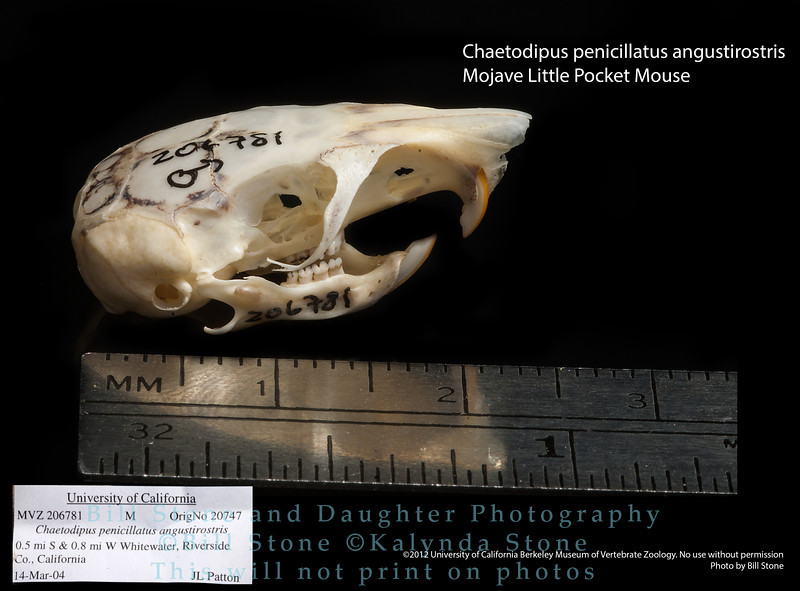 Chaetodipus penicillatus angustirostris - Mojave Little Pocket Mouse