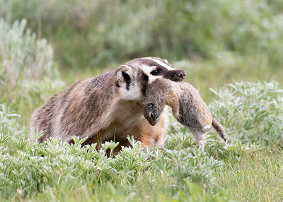 American Badger with Ground Squirrel