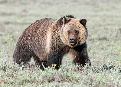 Grizzly with Porcupine quills in left eye