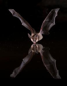 Pallad Bat