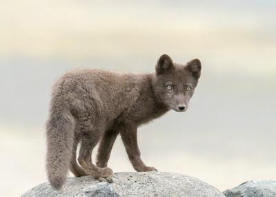 Arctic Fox (Pribilof)