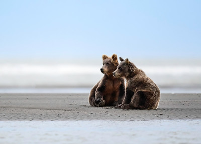 Brown Bear Cubs