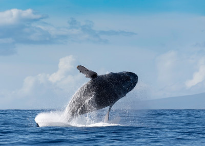 Humpback Whale reaching for cloud 9