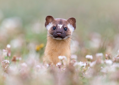 Long-tailed Weasel popping head up in flowers
