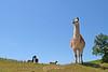 Llama hill