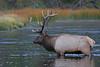 Bull elk crossing the river