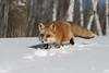 Red fox running through snow