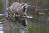 Reflecting raccoon