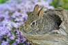 Bunny in log with phlox