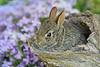 Bunny in log with phlox