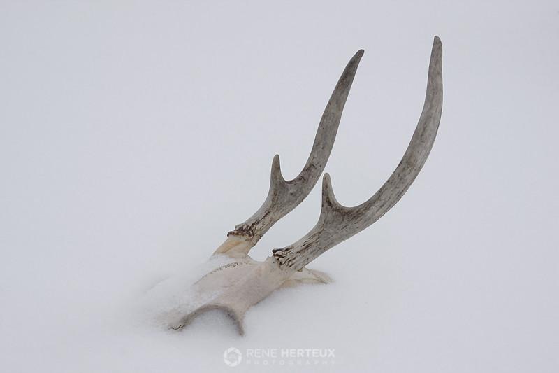 Deer skull in snow