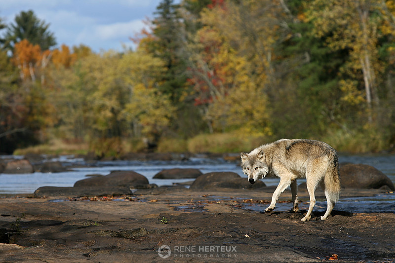 Wolf in fall colors