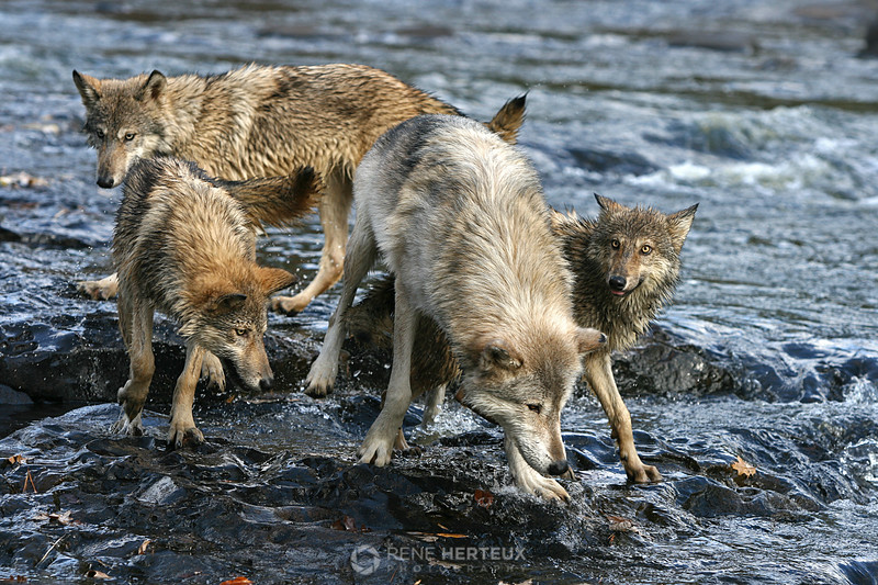Adult and juvenile wolves