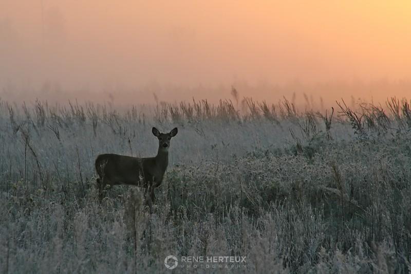 Frosty sunrise deer
