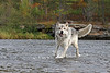 Timber Wolf running in stream