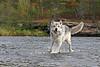 Timber Wolf running in stream